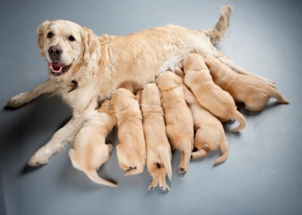 cane-allatta-cuccioli-e1392049494387